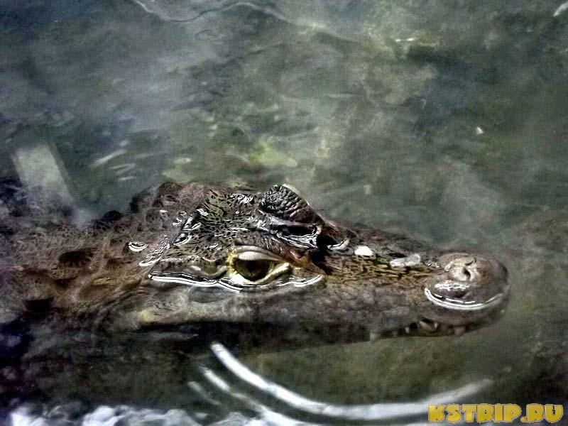 Крокодил-аллигатор