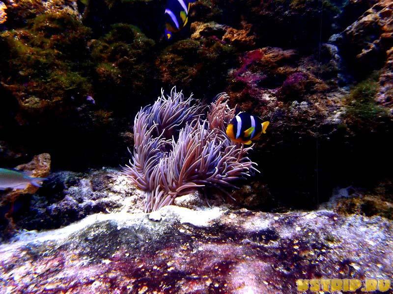 Рыба-клоун и актинии в океанариуме