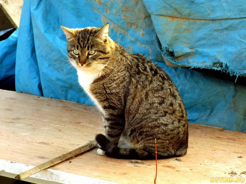 Путешествие с домашним питомцем, кот Пипс, кот авторов блога kstrip.ru