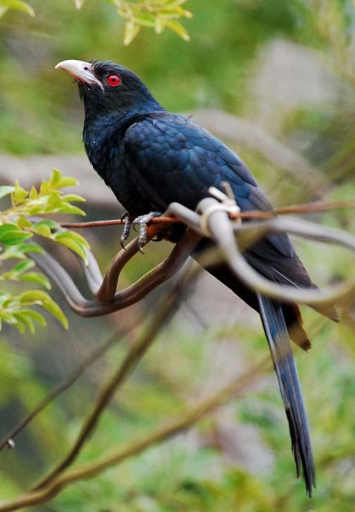 какая птица стонет в Таиланде