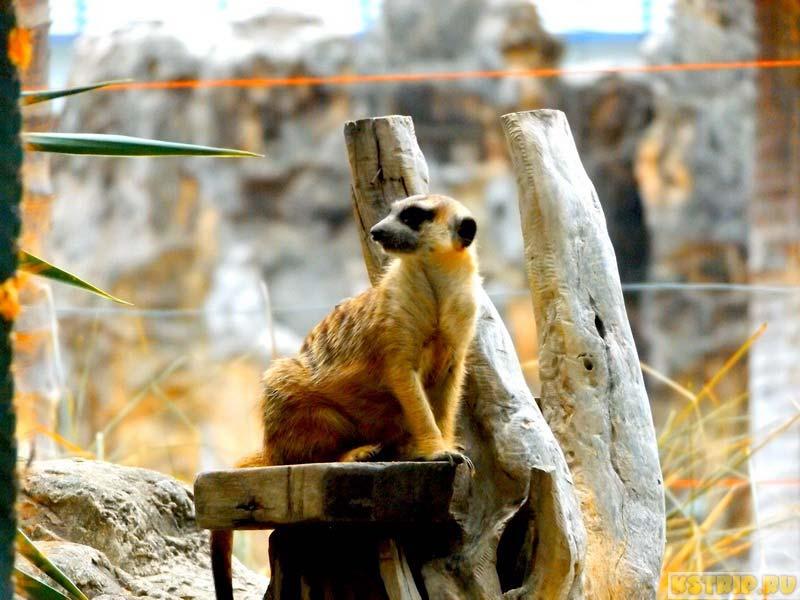 сурикат в зоопарке дусит в Бангкоке
