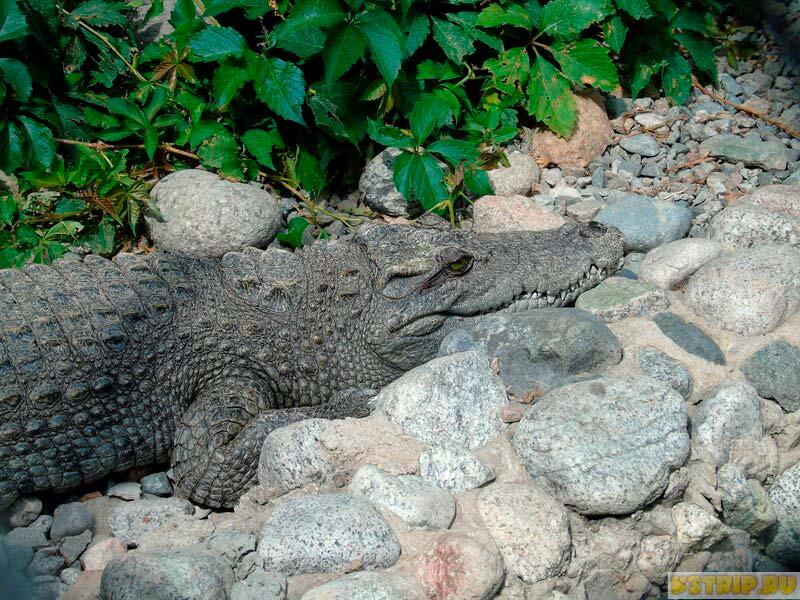 крокодил, зоопарк в Алмате, Казахстан