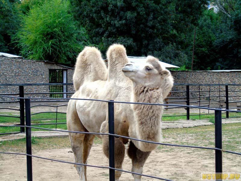 верблюд, зоопарк в Алмате, Казахстан